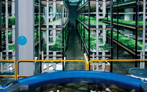 Urban Organics, St. Paul, MN grows both produce and fish in an old brewery through aquaponics